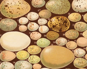 1893 Antique Print of Birds' Eggs - Some Favourite British Birds' Eggs