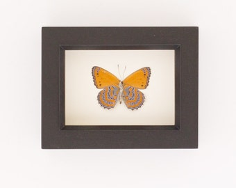 Real Framed Butterflies Meadow Wander Insect Display