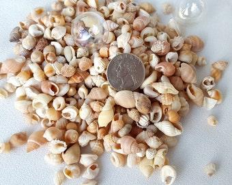 "Beach Decor Nutmeg, Nautical Orange Nutmeg Shells, Nutmeg Seashells, Jewelry Shells, Small Seashells, Tiny Shells - 3x4"" Bag"