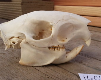African Porcupine Skull -Collector Quality-  Lot No. 160401-L