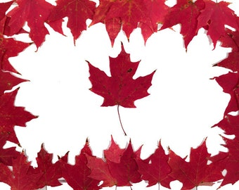 SALE, 25 Crimson Red Sugar Maple Leaves, All Leaves From Same Tree, Beautiful Autumn Leaves, Fall Leaves, Maple leaves