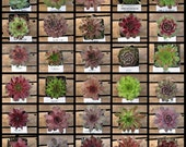 Sempervivum Succulent Collection, Hens and Chicks, Winter Hardy TO -10, FAVORS, Terrariums, drought tolerant