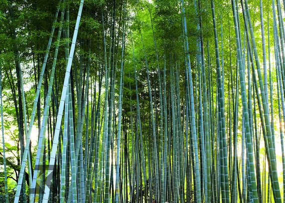 A Walk Through the Bamboo Forest Series 2 (Photography Print)