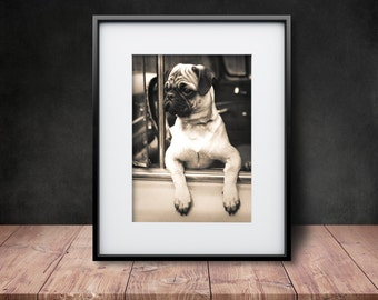 Joyriding Pug - Reproduction of a Vintage Photograph - Sepia