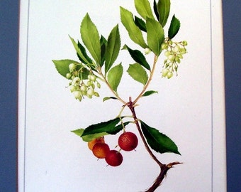 Strawberry Drawing, This is an original page of  artist drawn flowers by Marilena Pistoia Titled Arbutus or Strawberry Tree, Wall Hanging,