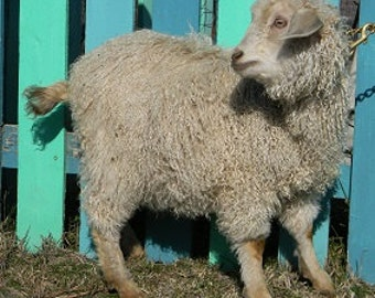 "Color Champion Winning Fleece!Washed Pygora Luxury fiber locks,Fawn, 4-5+""staple,soft and shiny,"