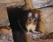Reserved for Jackie - Needle felted field mouse, Made to order, woodland animal