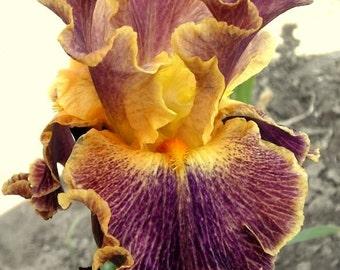 "Bearded Iris ""Glo-Ray Hallelujah"""