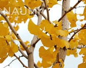 Yellow ginkgo tree leaves - digital image instant download digital art printable image background nature white sky clouds landscape web