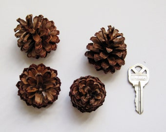 25 Small Mugo Pine Cones Handpicked for Crafting