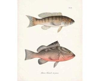 Vintage Fish Natural History Gicle Art Print Plate VI
