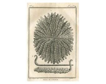 1801 Antique Print Squid Eggs by Denys-Montfort, Œufs du Calmar,  Original Engraving Buffon Mollusks