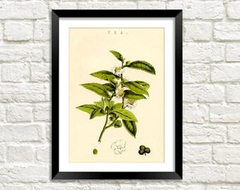 BOTANICAL TEA PRINT: Vintage Tea Plant Art Illustration Wall Hanging (A4 / A3 Size)