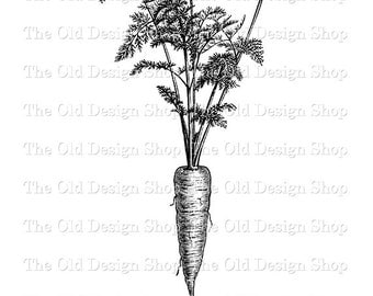 Carrot Botanical Illustration Printable Vintage Garden Clip Art Digital Graphic Transfer Image JPG PNG