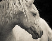 FLAX, Cremello Lusitano Stallion, Edition Print, Wall Decor, Equine Art. Horse photography, Portrait