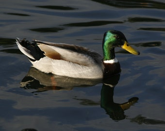 Mallard Duck, Nature, Fine Art Photography, Home Decor, Wall Art, Duck on the Lake
