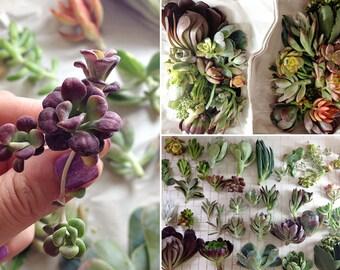 12 Succulents, Colorful Succulents, succulents, Terrarium suppliesPlants, Live Plants, Terrariums