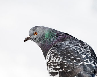 Pigeon Portrait, Bird Photo, NYC, Nature Photography, Wildlife - fine art photograph