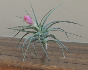 Stricta Purple / Tillandsia / Blooming Air Plant