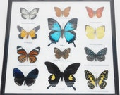 REAL 12 Mix Butterflies in frame for Sale Wall Decor Collectible Display Insect Taxidermy Extra ULYSSES /B02Z