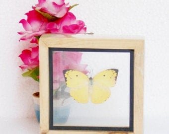 Real Lemon Emigrant Butterfly insect Collectible Taxidermy Double glass in framed/BTD01F2