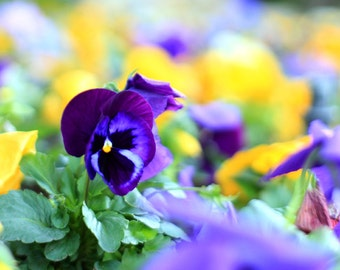 Purple Pansy Color Splash - Flower Photography - Photo Print - Size 8x10, 5x7, or 4x6