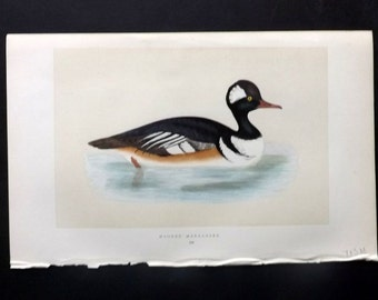 Morris 1857 Antique Bird Print. Hooded Merganser