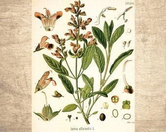 Sage Botanical Illustration - giclee print, choose your size - Botanicals, Vintage, Illustrations, Poster, Art, Decor, Botany