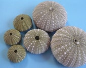 Sea urchins/shells,home decor,wedding,craft- lot of 6