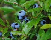 Maine Photography,  Maine Blueberries,  Color glossy print