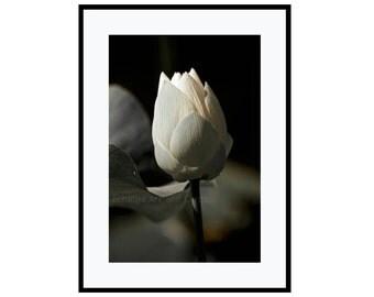 White Lotus Wall Art Print, Zen Photography, Large Flower Wall Decor, 16x20 Print, Relaxing Art, Botanical Print, Fine Art Photography