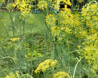 Mammoth Dill Seed (20 ct)