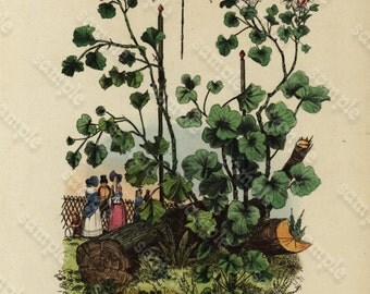 Antique Original  Natural History Hand Colored Engraving - Plants- Pélargonium - Peleeme