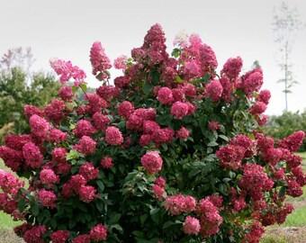 Fire Light Panicle Hydrangea - Proven Winners - Live Plant - Quart Pot