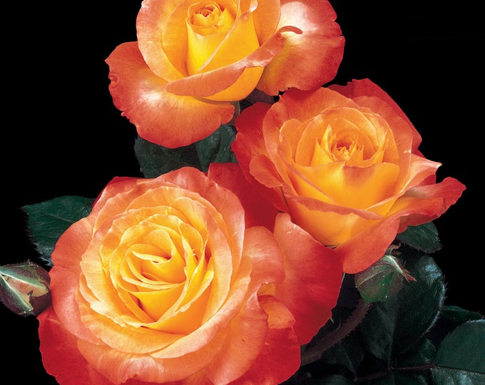 Chihuly ® Rose Bush - Reblooming Orange Flowers Grown Organic Potted In 4 Inch Container - Own Root Floribunda - Spring Shipping