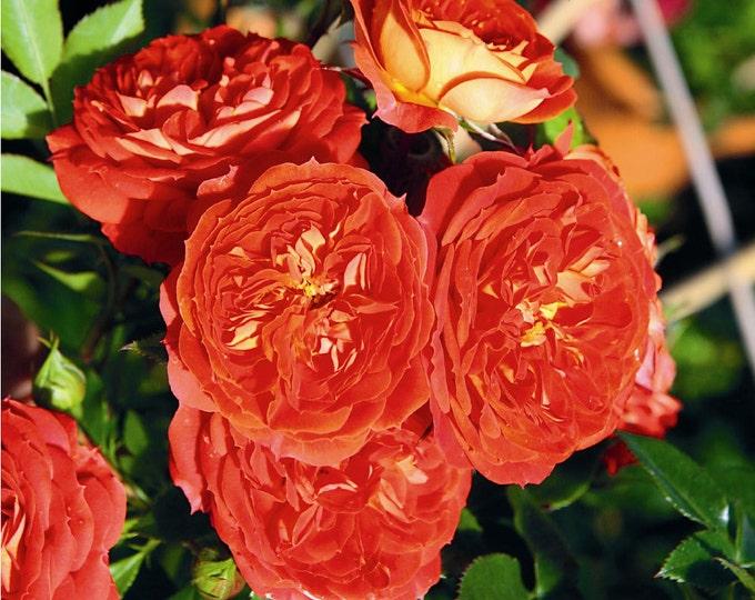 "Starlet Beauty Tangerine Rose Plant - Orange Climbing Rose Bush Organic Grown 4"" Pot - Small Climber Own Root Rose - Spring Shipping"
