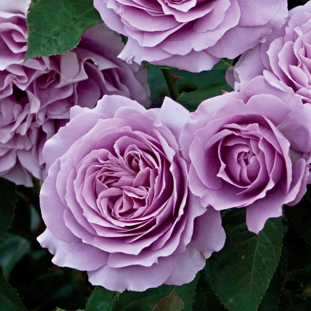Floribunda Rose Bushes