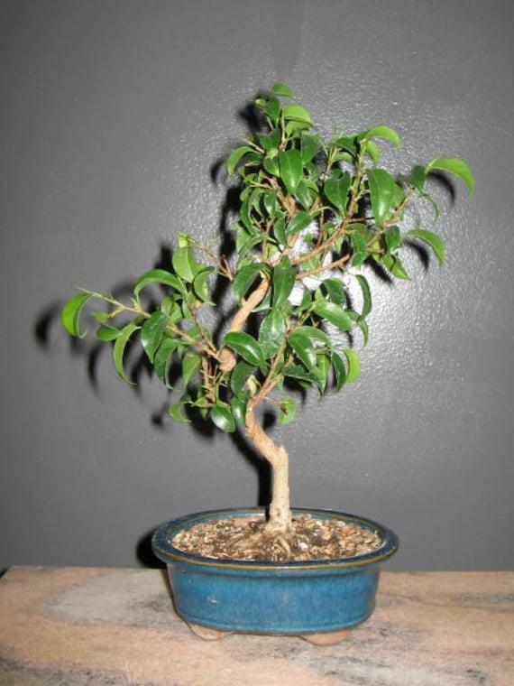 bonsai ficus benjamina 39 too little 39 ficus bonsai. Black Bedroom Furniture Sets. Home Design Ideas