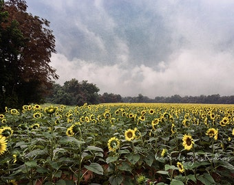 Sunflowers After the Storm