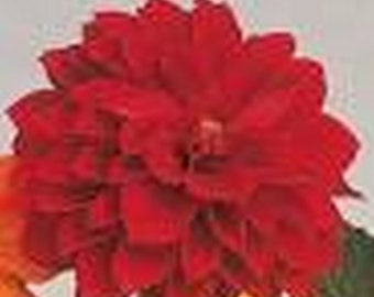 Dahlia Figaro * Shades of Red!! 20 Seeds