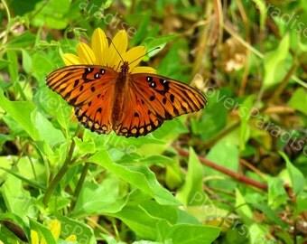 Gulf Fritillary Butterfly Photograph // Florida Butterfly Print // Nature Photography