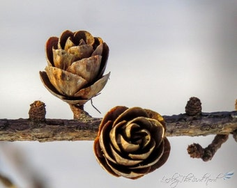 Tamarack Cone Photography - Tamarack Cone Decor, Nature Picture - Fine Art Photo, Wildlife -025
