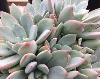 Mature Succulent Plant. Pachyveria Blue Quartz. Gorgeous muted tones of light blues with shades of pale lavender.