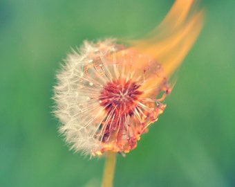 Fire Dandelion Macro nature photography print wall decor