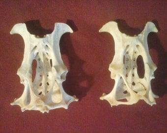 2 real craft armadillo pelvic bones