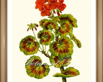 "Botanical Print. Geranium print #3. Pelargonium. Red Flower Print. 5x7"", 8x10"", 11x14"","