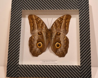 Entomological decorative frame