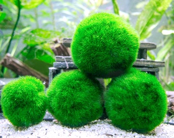 3 Giant Marimo Moss Balls - 8-15 Years Old! - 2 to 2.5 inches - For Terrariums & Aquariums - Ships from USA - Live Arrival Guaranteed!