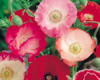 Shirley Mix Poppy Flower Seeds/ Papaver / Annual   50+