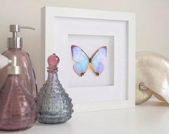 Beautiful Morpho sulkowskyi Butterfly Framed - Taxidermy